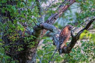 Hawk In Sunlight Original by Darwin White