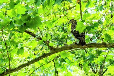 Photograph - Hawk In Sycamore by Thomas R Fletcher