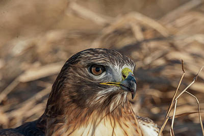Photograph - Hawk In The Grass Looking At Camera by Dan Friend