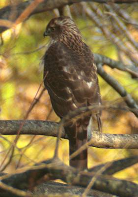 Photograph - Hawk In The Woods by Christopher Kirby