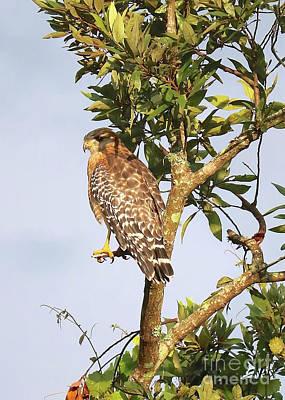 Photograph - Hawk In Tree Closeup by Carol Groenen