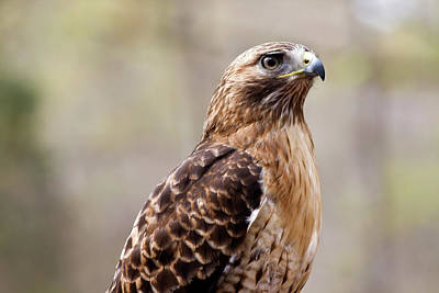 Photograph - Hawk by Jill Lang