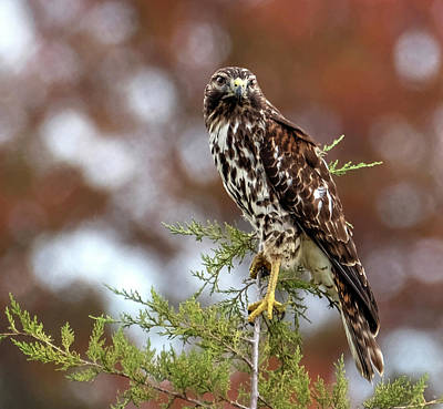 Photograph - Red Shoulder Hawk Looking At Me by Ronda Ryan