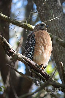 Photograph - Hawk Moment by Carol Groenen
