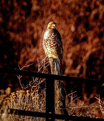 Photograph - Hawk On A Post by Gloria Anderson