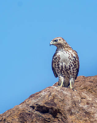 Photograph - Hawk On A Rock 2 by Rick Mosher