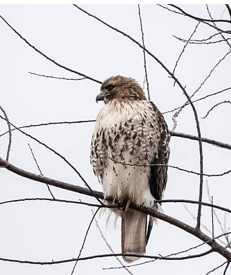 Photograph - Hawk On Alert by Paul Ross