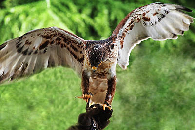 Photograph - Hawk On Hand  by Cliff Norton
