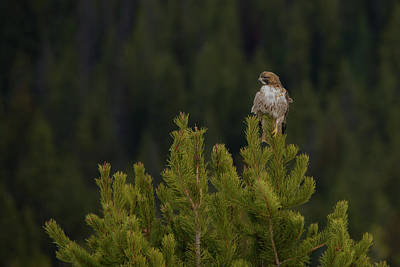 Photograph - Hawk On Highest Tree by Yeates Photography