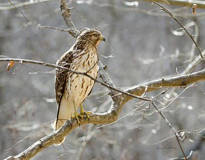 Hawk On Lookout Art Print by George Randy Bass