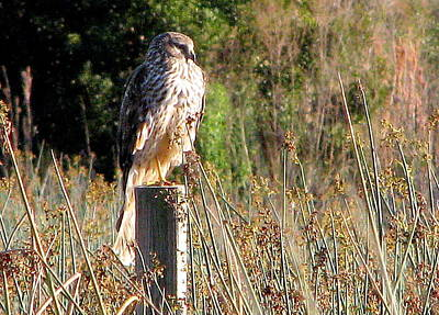 Photograph - Hawk On Post by T Guy Spencer