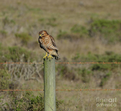Nature At Its Best Photograph - Hawk On The Pole by Debby Pueschel