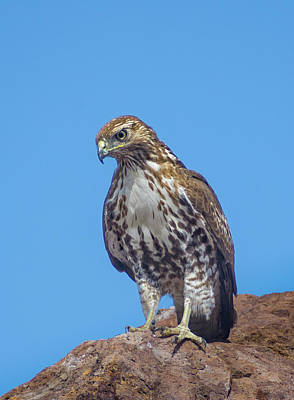 Photograph - Hawk On The Rock by Rick Mosher