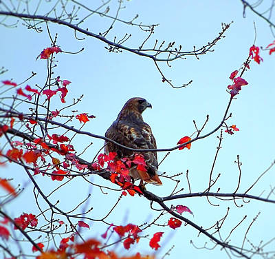 Photograph - Hawk On The Tree With Red Leaves by Lilia D