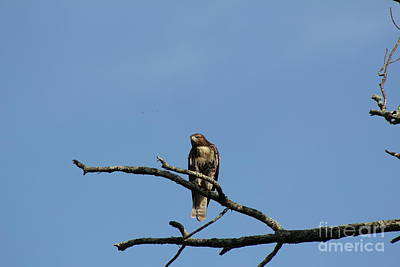Photograph - Hawk On Tree  by Neal Eslinger