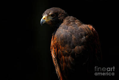 Photograph - Hawk Out Of The Shadows by Sue Harper