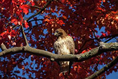 Photograph - Hawk Overlooking Prey by Karol Livote