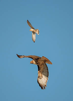 Photograph - Hawk Patrol by Loree Johnson