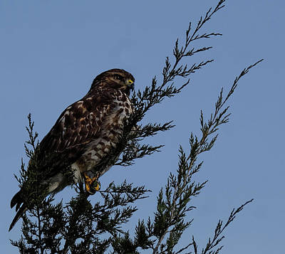 Photograph - Red Shoulder  Hawk Perched High by Ronda Ryan