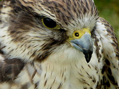 Photograph - Hawk by Perggals - Stacey Turner