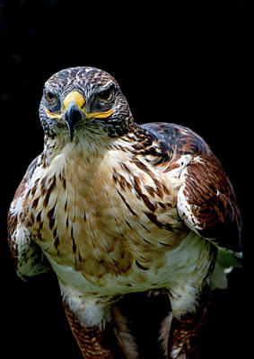 Photograph - Hawk Portrait  by Cliff Norton