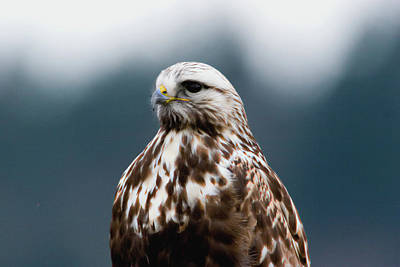 Photograph - Hawk Portrait by Craig Strand