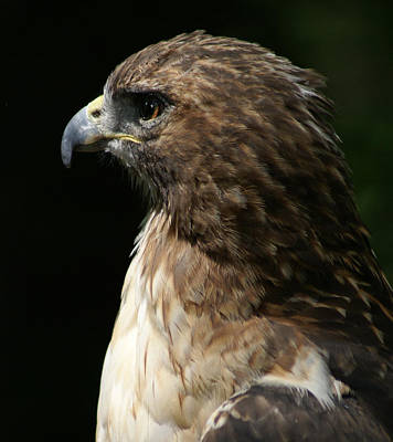 Wild And Wacky Portraits Rights Managed Images - Hawk Portrait Royalty-Free Image by Heather Coen