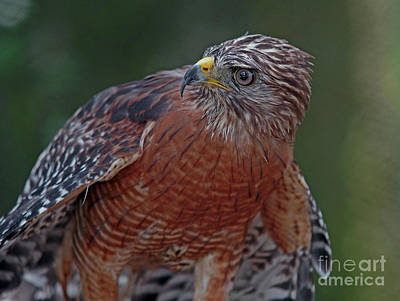 Photograph - Hawk Portrait by Larry Nieland