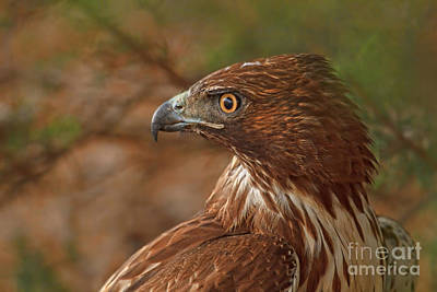 Photograph - Hawk Profile by Beth Sargent