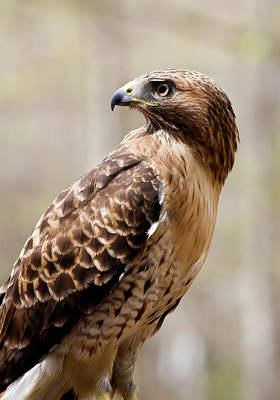 Photograph - Hawk Profile by Jill Lang