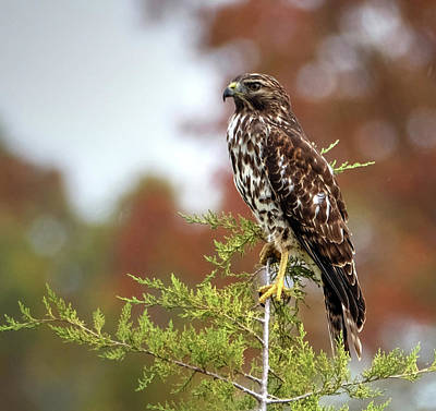 Photograph - Red Shoulder Hawk Profile by Ronda Ryan