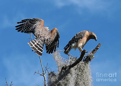 Photograph - Hawk Rendezvous by Carol Groenen