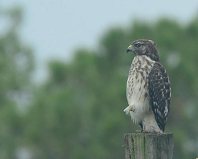 Photograph - Hawk Resting A Leg by Keith Lovejoy