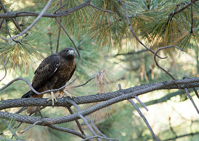 Photograph - Hawk Resting In A Tree by Brent Dolliver