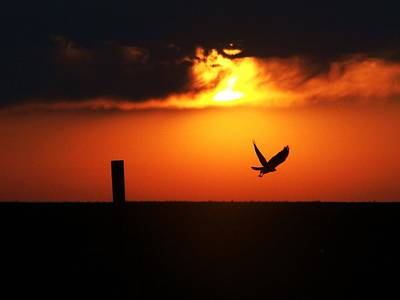 Photograph - Hawk Rising With The Sun by Clarice  Lakota