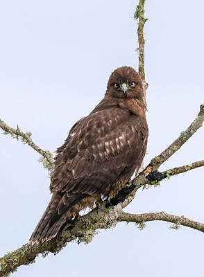 Photograph - Hawk Scrutiny by Loree Johnson