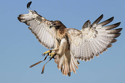 Photograph - Hawk Showing Off by Dawn Currie