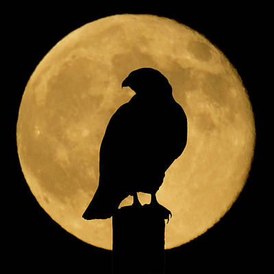Night Photograph - Hawk Silhouette 2 by Shane Bechler