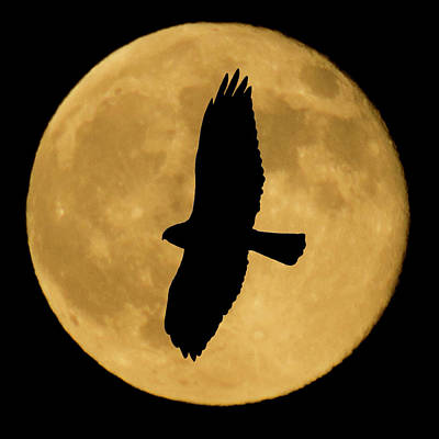 Night Photograph - Hawk Silhouette by Shane Bechler