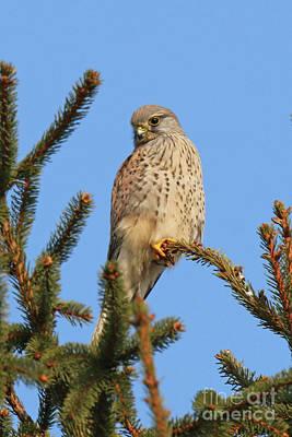Photograph - Hawk Sits On A Tree by Ludek Sagi Lukac