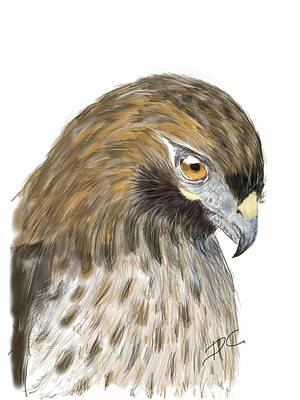 Digital Art - Hawk Study by Darren Cannell