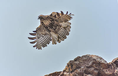 Photograph - Hawk Take Off by Rick Mosher