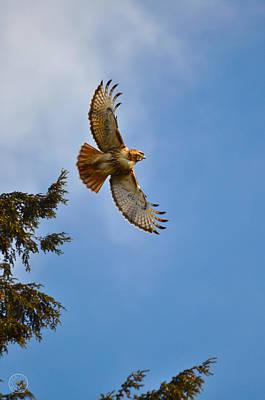 Photograph - Hawk Taking Flight by Healing Woman
