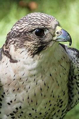 Photograph - Hawk Thinking About Prey by Bob Slitzan