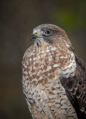 Photograph - Hawk by Tyson and Kathy Smith