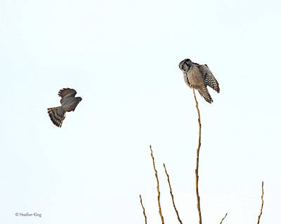 Photograph - Hawk Vs Hawk Owl by Heather King