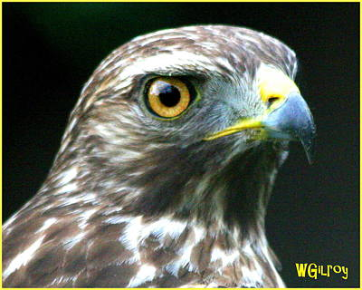 Sebastian Florida Photograph - Hawk by W Gilroy