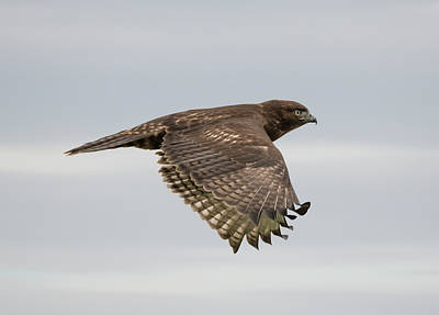 Photograph - Hawk Weather by Loree Johnson