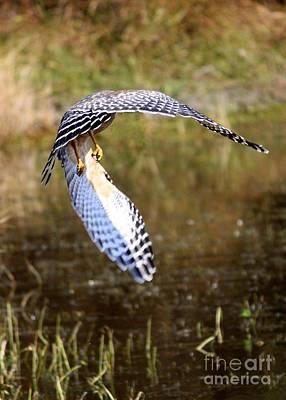 Photograph - Hawk Wings by Carol Groenen