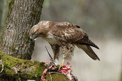 Photograph - Hawk With Duck Lunch by Craig Strand